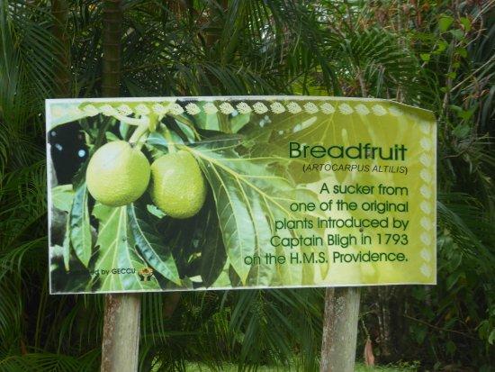 Botanical Gardens: Breadfruit and Captain Bligh