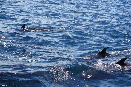 Drake Bay, Costa Rica: Delfines moteados