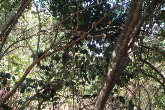 Drake Bay, Costa Rica: Monos cara blanca, durmiendo en los árboles