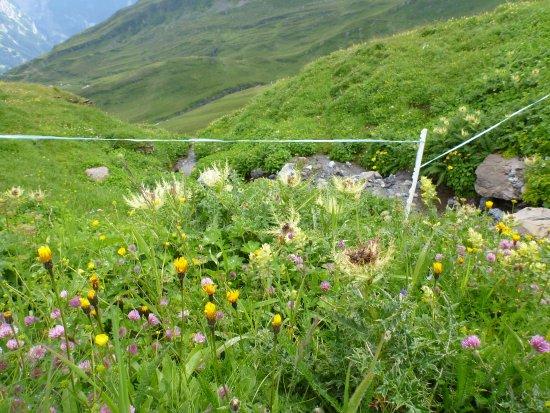 Grindelwald, Schweiz: wildflowers in August