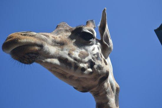 Stella Canaris Zoo: Jirafa