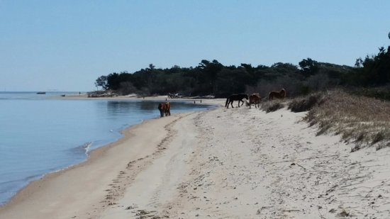 Beaufort, NC: Shackleford Banks horses were magnificent.