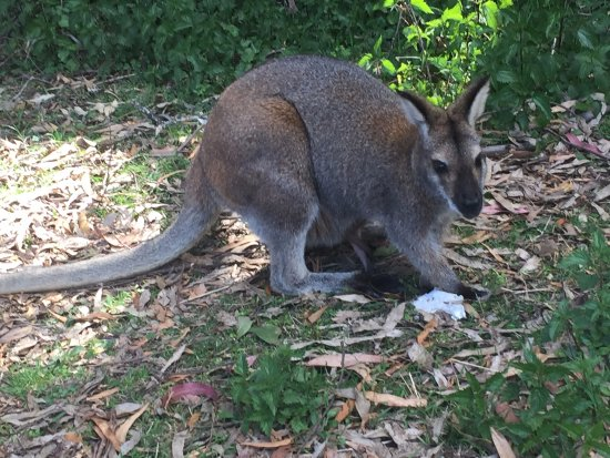 Jenolan Caves, Australia: A wallaby!