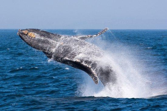 Moss Landing, Kalifornien: Breaching humpback whale