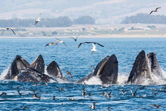 Moss Landing, Kalifornien: Lunge-feeding humpback whales