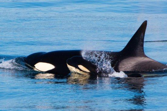 Moss Landing, Kalifornien: Killer whales mom and calf