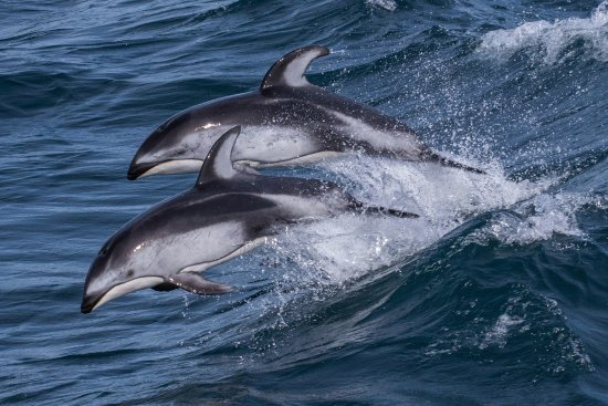 Moss Landing, Kalifornien: Pacific white-sided dolphins