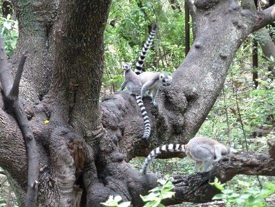 Хартбееспоорт, Южная Африка: More Lemurs