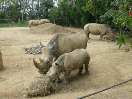 Hamilton, Nya Zeeland: 幼年犀牛