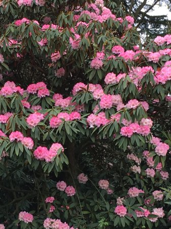 Tiverton, UK: Rhododendrons