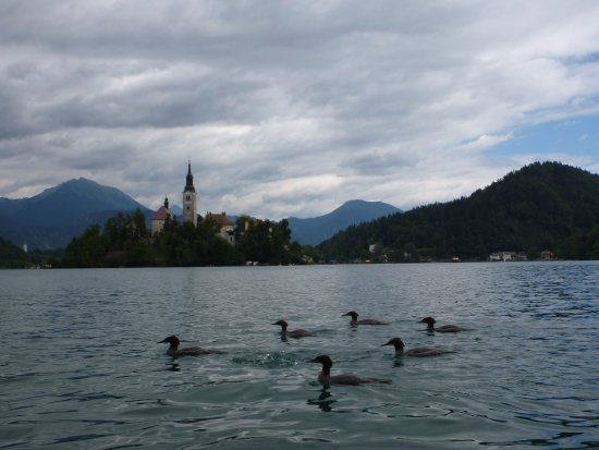 Lake Bled: Bled Island, plus birds