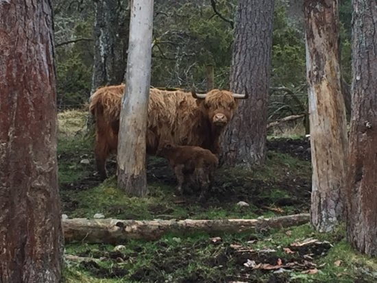 Aviemore, UK: Day old calf