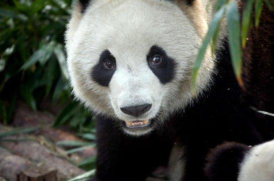 パンダと楽山の巨人とのプライベート2日間の成都ツアー