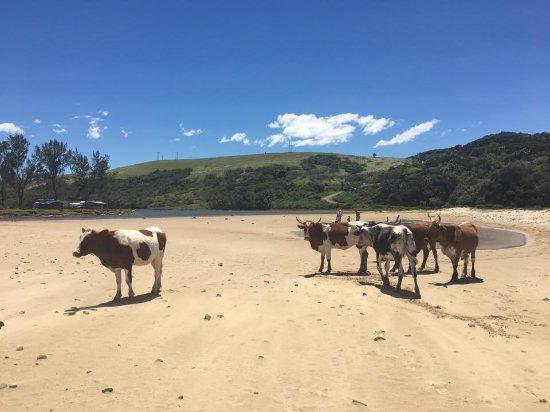 Morgan's Bay, Zuid-Afrika: Cows on the beach.