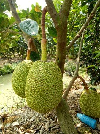 An Giang Province, Vietnam: Jackfruit garden