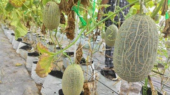 An Giang Province, Vietnam: cantaloupe garden