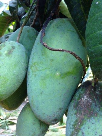 Tỉnh An Giang, Việt Nam: mango garden