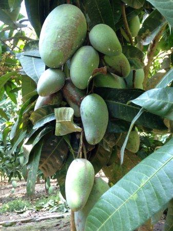 An Giang Province, Vietnam: mango garden