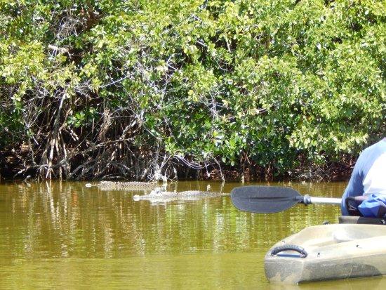 Everglades City, FL: Mid-morning, the gators start to pop up...