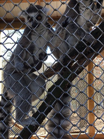Branson, MO: Feeding the ring-tailed lemurs, we even got to see the newest, little one with it's momma.