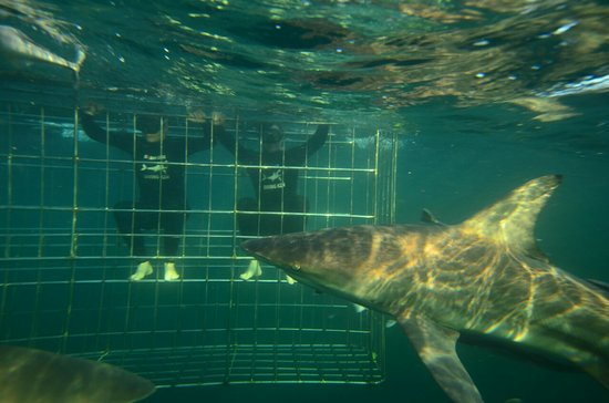 Shark Cage Diving KZN: IMG-20170330-WA0011_large.jpg