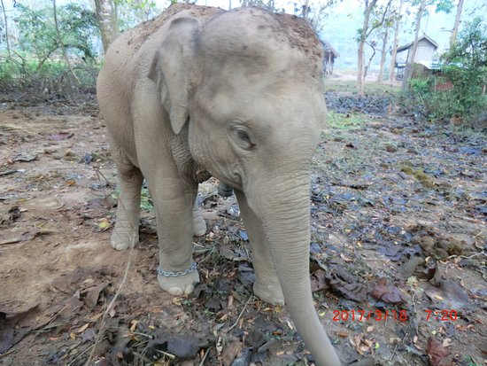 Ban Xieng Lom, Laos: female baby elephant in the woods. chain so she doesnt stroll too far