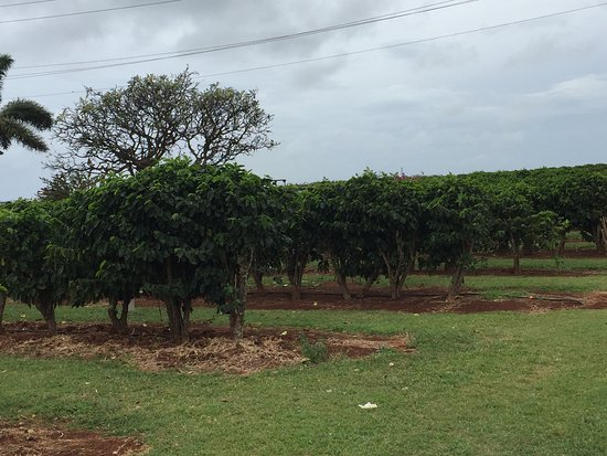 Kalaheo, HI: some coffee bushes you'll see