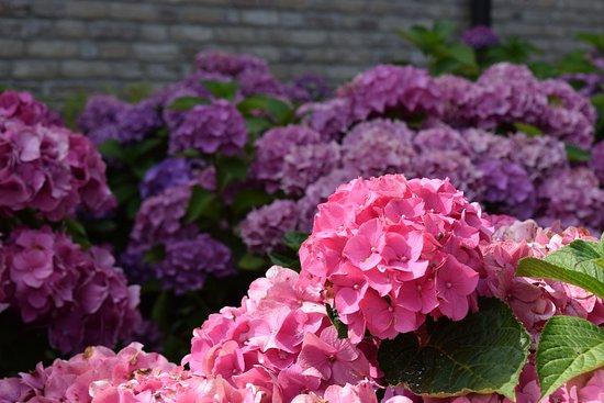 Jabbeke, Belgium: hortensia's in al hun glorie