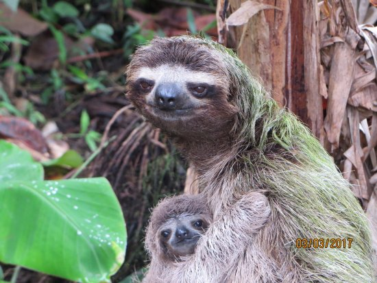 Suizo Loco Lodge Hotel & Resort: Sloth and her baby