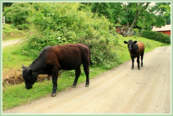 Saturna Island, Canadá: Breezy Bay Farm B&B is located on a working farm with free range cows!