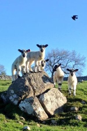 Helmsley, UK: Swaledale lambs, spring is in the is in North Yorkshire