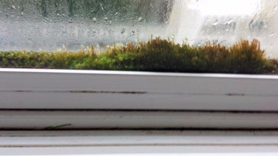 Shilo Inn Suites - Ocean Shores: Moss growing between panes