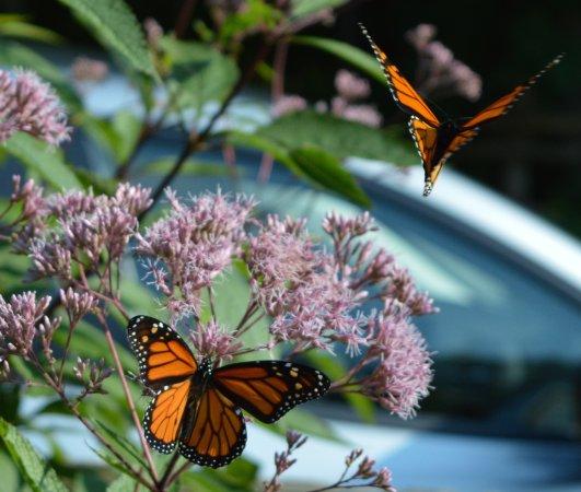 Red Bay, Kanada: Monarch butterflies in the garden