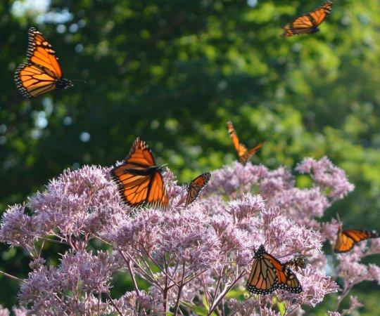 Red Bay, Kanada: More monarch butterflies in the garden