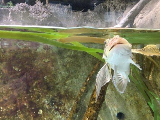 Dubuque, IA: A live fish in an aquarium.