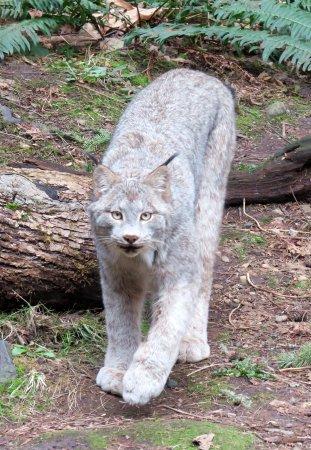 Eatonville, WA: Lynx