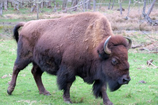 Eatonville, วอชิงตัน: Bison