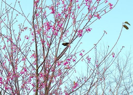 Pukeatua, Nuova Zelanda: Flowering cherry with our native Kōmako (Bellbird) in Spring.