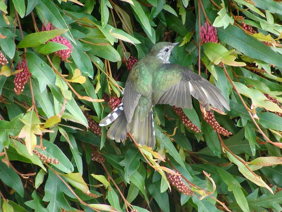 Pukeatua, Nueva Zelanda: A Pīpīwharauroa (Shining Cuckoo) enjoy the Grevillea outside our kitchen.