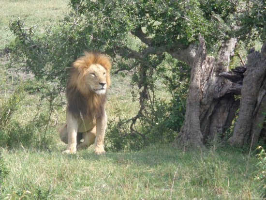 Nairobi Region, เคนยา: King of the jungle. Spotted in a game viewing drive
