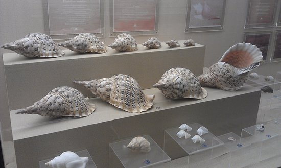 Phuket Seashell Museum: Example of specimens.