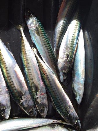 Rockport, ME: fresh summer mackerel