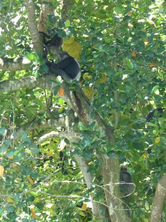 Black Beauty Guesthouse: Monkeys