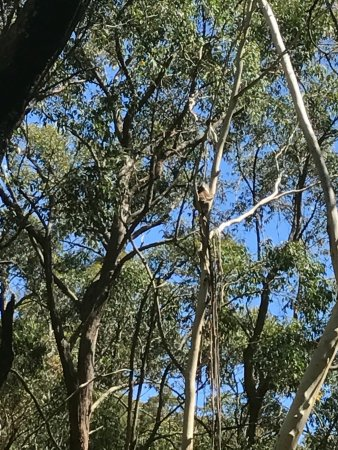 Escapegoat Adventures : Wild koala guarantee fulfilled on the Mt Lofty Descents trail! There's a koala in the middle tre