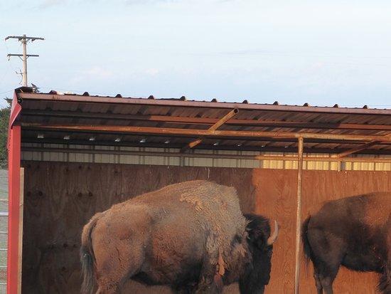El Reno, OK: Grazende buffalo's