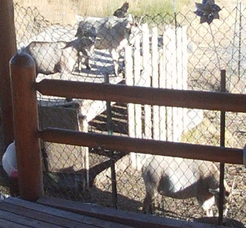 Goats chilling in the sun. driggs idaho