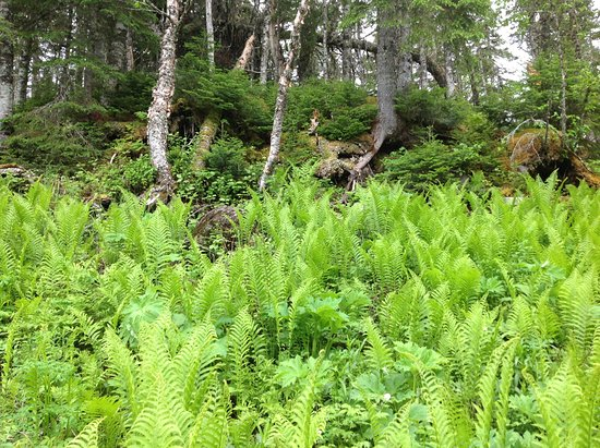 Main Brook, Canadá: 6 foot ferns.