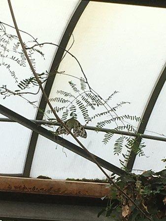 """Havelte, Holland: Handgrootte vlinder tegen de ramen van de """"kas"""""""