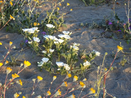 Desert Flowers South Of Borrego Springs Picture Of Palm Canyon