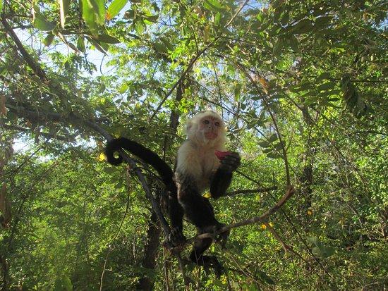 Playa Matapalo, Costa Rica: A capuchin enjoying breakfast.